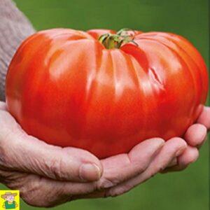 12548 Tomaat Brutus - Tomate Brutus