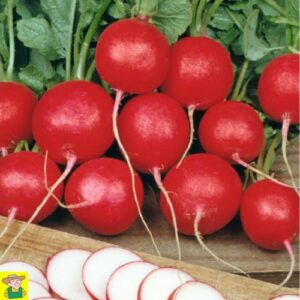 12556 Radijs Cherry Belle - Radis Cherry Belle