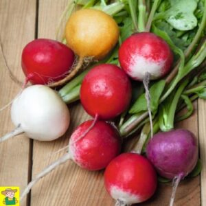 12560 Radijs ronde soorten gemengd - Radis variétés rondes en mélange