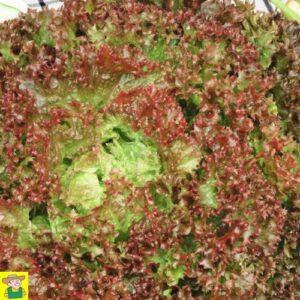 12669 Krulsla Lollo Rossa - Laitue frisée Lollo Rossa