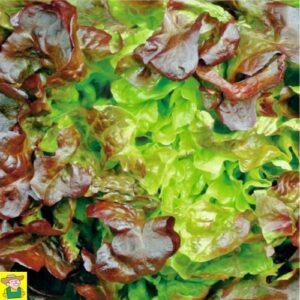 12680 Pluksla Rode eikenblad - Laitue à couper à feuilles de chêne rouge