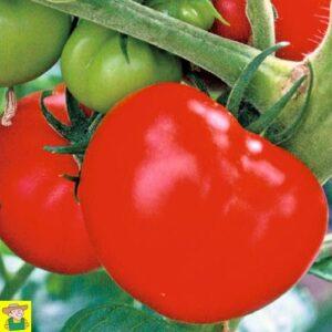 12820 Tomaat Pyros F1 - Tomate Pyros F1