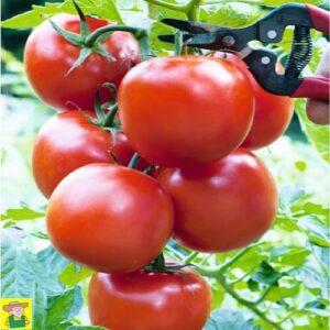 12827 Trostomaat Serrat F1 - Tomate grappe Serrat F1