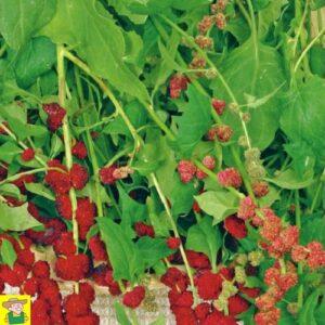 128355 Aardbeispinazie - Epinard-fraise