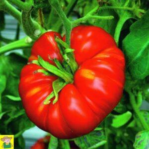 12839 Tomaat Bombero f1 - Tomate Bombero F1