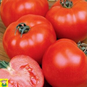 12840 Tomaat Sint Pieter - Tomate St Pierre