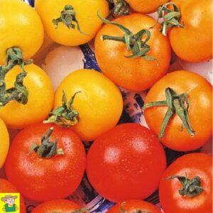 12847 Tomaat Mengsel 3 Kleuren - Tomate Mélange de 3 couleurs