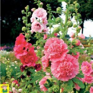 14023 Alcea Rosea Summer Carnival - Stokroos - Rose trémière