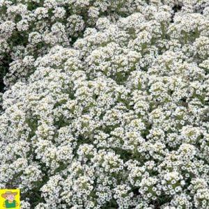 14025 Lobularia Maritima - Alyssum - Sneeuwkleed - Alysse - Tapis de Neige