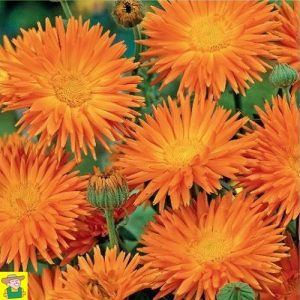 14082 Calendula Officinalis Radio Orange - Goudsbloem - Souci