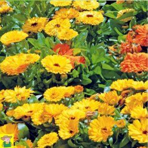 14090 Calendula Officinalis Fiesta Gitana - Goudsbloem - Souci