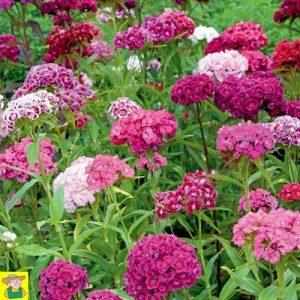 15065 Dianthus Barbatus - Duizendschoon Enkelbloemig - Oeillet de Poète Fleurs Simples