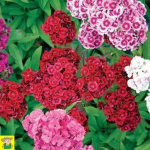15072 Dianthus Barbatus - Duizendschoon Dubbelbloemig - Oeillet de Poète Fleurs Doubles