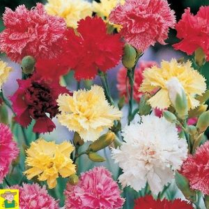 15080 Dianthus Caryophyllus Grenadin Mix - Anjer - Oeillet des Fleuristes
