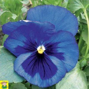 15162 Viola Alpenmeer - Viooltje Grootbloemig - Pensée