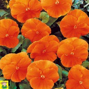 15180 Viola Wittrockiana - Viooltje Oranjezon - Pensée Soleil Orange