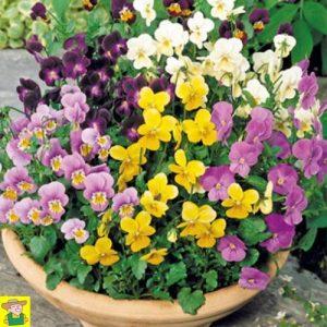 15195 Viola Bambini - Hoornviooltje - Pensée à Petites Fleurs - Violette Cornue