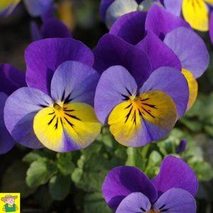 15198 Viola Johnny Jump Up - Hoornviooltje - Pensée à Petites Fleurs - Violette Cornue