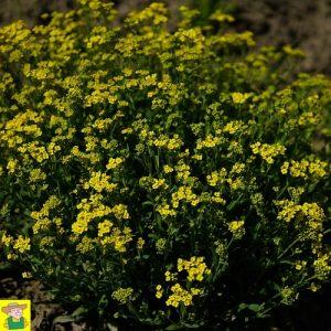 15260 Alyssum Saxatile - Rotsschild - Corbeille d'Or
