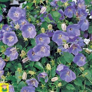 15295 Campanula Carpatica Blue Clips - Karpatenklokje - Campanule Carpatica