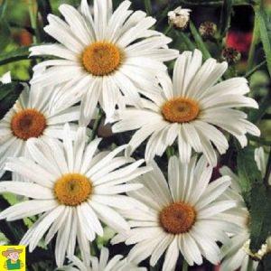 15315 Chrysanthemum May Queen - Margriet - Chrysanthème