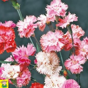 15332 Dianthus Plumarius Spring Beauty - Grasanjer - Oeillet Mignardise