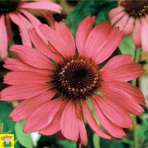 15343 Echinacea Purpurea - Rode Zonnehoed - Echinacea