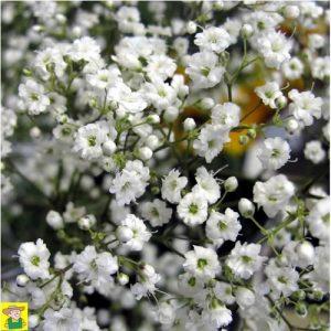 15363 Gypsophilia Snow Flake - Gipskruid - Gypsophile