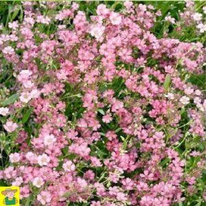 15368 Gypsophilia Rose - Kruipend Gipskruid - Gypsophile Rampant