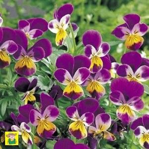 Fleurs bisannuelles